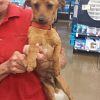 Terrier (Unknown Type, Medium) Mix Dog for adoption in Fresno, California - Biscuit