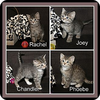 Domestic Shorthair Kitten for adoption in Marietta, Ohio - HSOV Friends Kittens