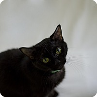 Adopt A Pet :: Midnight - Jefferson, NC