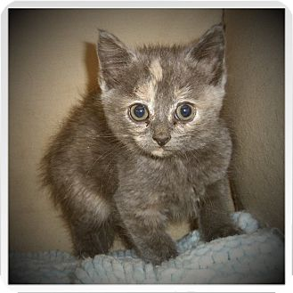 Domestic Shorthair Kitten for adoption in Medford, Wisconsin - ALBANY