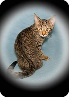Domestic Shorthair Cat for adoption in Bradenton, Florida - Thundercloud