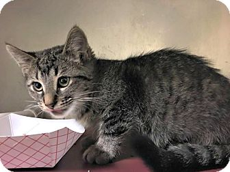 Domestic Shorthair Kitten for adoption in Flint, Michigan - Marcy