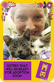 Domestic Shorthair Cat for adoption in Overland Park, Kansas - Chloe Blue