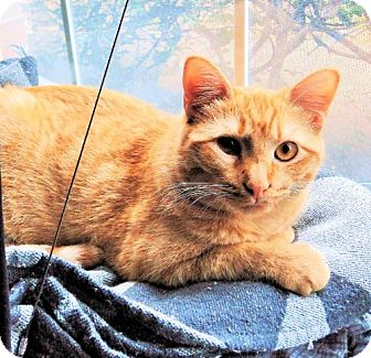 Domestic Mediumhair Cat for adoption in Euless, Texas - Penny - Courtesy Post