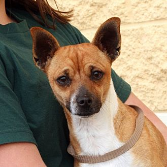 palmdale ca chihuahua mix meet chico a dog for adoption. Black Bedroom Furniture Sets. Home Design Ideas
