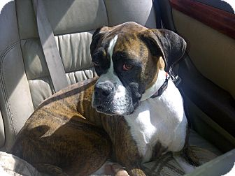 Boxer Dog for adoption in Scottsdale, Arizona - Bella Boxer