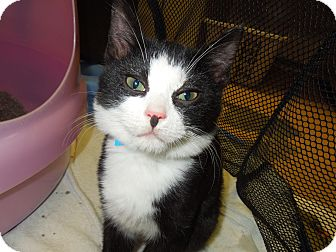 Domestic Shorthair Cat for adoption in Medina, Ohio - Jermaine