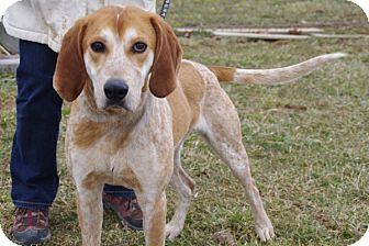 English (Redtick) Coonhound Dog for adoption in Elyria, Ohio - Chips-Prison Dog