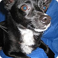 Chihuahua Dog for adoption in Elk Grove, California - Konik