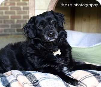 Spaniel (Unknown Type)/Border Collie Mix Dog for adoption in Los Angeles, California - Little Lucky-VIDEO