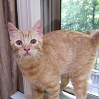 Domestic Shorthair Cat for adoption in St. Charles, Illinois - Rowan