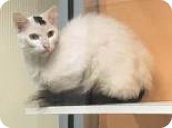 Domestic Shorthair Cat for adoption in Columbus, Georgia - Stefan 6296
