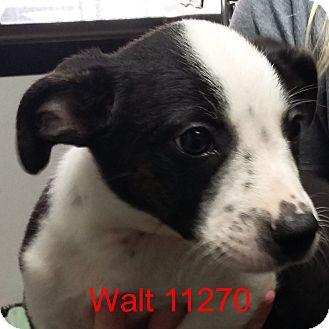 Australian Cattle Dog/Boston Terrier Mix Puppy for adoption in Manassas, Virginia - Walt
