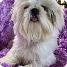 Adopt A Pet :: ChiChi