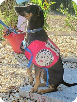 Doberman Pinscher/Miniature Pinscher Mix Dog for adoption in Marianna, Florida - Brewster