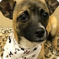 Adopt A Pet :: Mateo - Casa Grande, AZ
