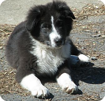Australian Shepherd Puppy for adoption in Somers, Connecticut - Cowboy