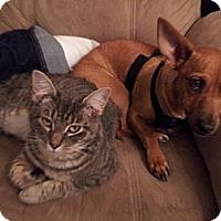 Adopt A Pet :: Sylvia the Cat - Seattle, WA