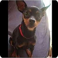 Adopt A Pet :: Minnietoo - Phoenix, AZ