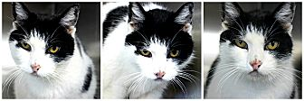 Domestic Shorthair Cat for adoption in Forked River, New Jersey - Whitey