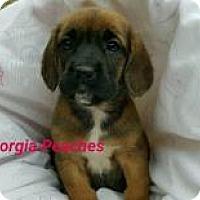 Adopt A Pet :: Georgia Peaches - Marlton, NJ