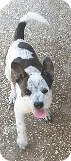 Boston Terrier/Australian Cattle Dog Mix Puppy for adoption in East Hartford, Connecticut - Sassy