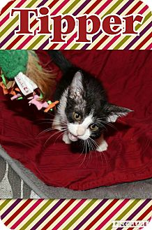 Domestic Shorthair Kitten for adoption in Wichita, Kansas - Tipper