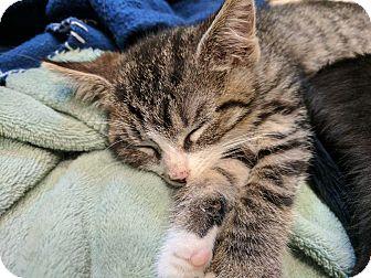 Domestic Shorthair Kitten for adoption in Morristown, New Jersey - Moe