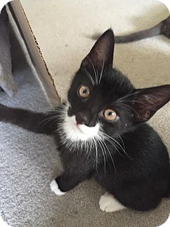 Domestic Shorthair Cat for adoption in Turnersville, New Jersey - Leo