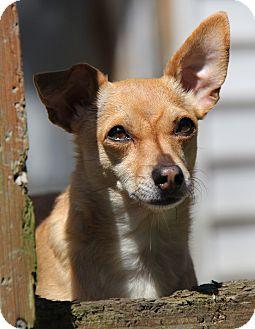 Chihuahua Mix Dog for adoption in Portland, Oregon - Buddy