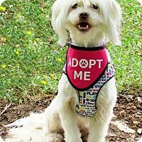 Adopt A Pet :: Lulu is gorgeous! - Redondo Beach, CA