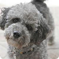 Adopt A Pet :: Luke - I do not shed! - Bellflower, CA