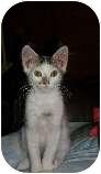 Domestic Mediumhair Kitten for adoption in Modesto, California - Napoleon