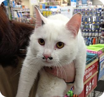 Domestic Shorthair Cat for adoption in Troy, Ohio - Groucho Marx