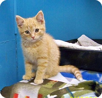 Domestic Shorthair Kitten for adoption in Dover, Ohio - Nugget