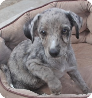 Terrier (Unknown Type, Small)/Catahoula Leopard Dog Mix Puppy for adoption in Norwalk, Connecticut - Shelley