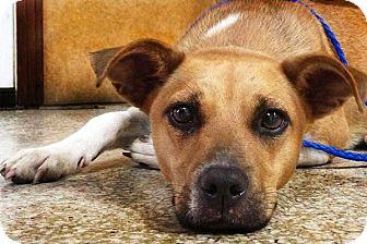 Cattle Dog/Basenji Mix Dog for adoption in Houston, Texas - Alice