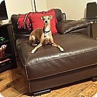 Adopt A Pet :: Grayson in DFW Area - Argyle, TX