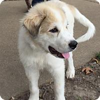 Adopt A Pet :: Albert - Bloomington, IL