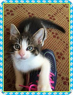 Domestic Shorthair Kitten for adoption in Mt. Prospect, Illinois - Billy