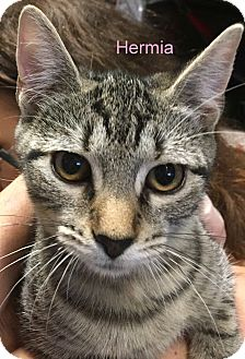 Domestic Shorthair Kitten for adoption in Cliffside Park, New Jersey - HERMIA