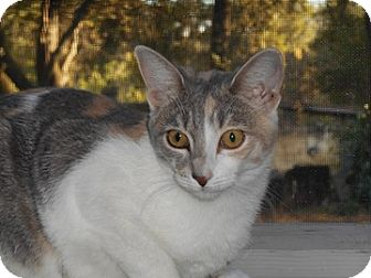 Domestic Shorthair Cat for adoption in North Highlands, California - Bunni