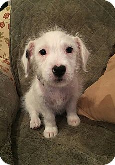 Corgi/Miniature Schnauzer Mix Puppy for adoption in Southbury, Connecticut - Ana