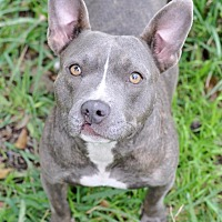 Adopt A Pet :: Hadley - College Station, TX