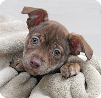 Chihuahua Mix Puppy for adoption in Woodstock, Illinois - Bo