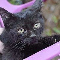 Adopt A Pet :: HOLLY PURR-ELLA (purrs a lot!! - New Smyrna Beach, FL