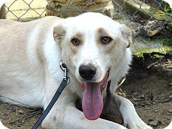Labrador Retriever Mix Dog for adoption in Toronto, Ontario - Gizmo