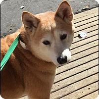 Adopt A Pet :: Saki - Los Alamitos, CA