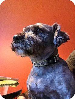 Schnauzer (Miniature)/Shih Tzu Mix Dog for adoption in Rigaud, Quebec - Peanut