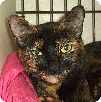 Domestic Shorthair Cat for adoption in Carmel, New York - Penny